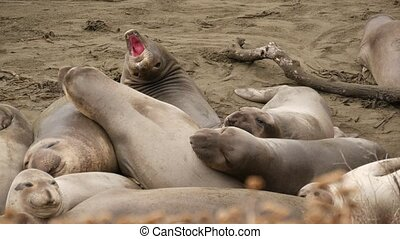 Funny lazy elephant seals on sandy pacific ocean beach in ...