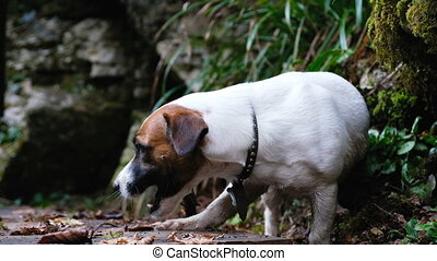 Funny little dog jack russell terrier in the woods is played with a stick close up