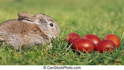 Funny little grey rabbit sits in the green grass among red Easter eggs
