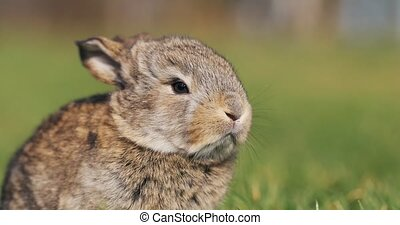 Funny little grey rabbit sits in the green grass. Easter bunny in the garden