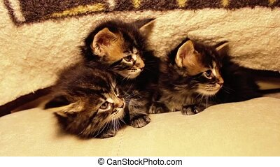 Funny little kittens Maine Coon