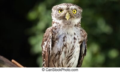 Funny little owl in natural forest habitat - Funny little...