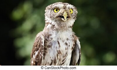 Funny little owl in the forest - Funny little owl in the...
