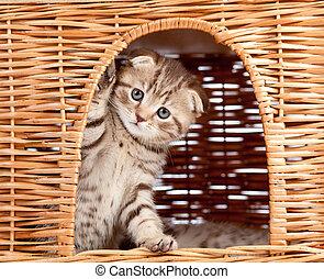 funny little Scottish fold kitten sitting inside wicker cat...