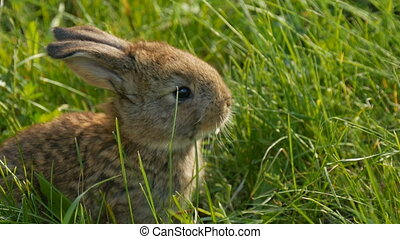 Funny little young brown rabbit or hare runs in the green grass in spring. Easter concept. Close up view.