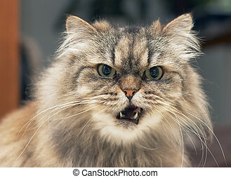 persian cat - funny looking persian cat