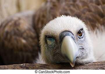 Funny looking vulture - Funny looking griffon vulture