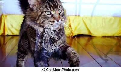 Funny Maine Coon cat standing and knocking in glass door....