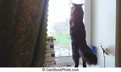 Funny Maine Coon cat standing and knocking in the window in...