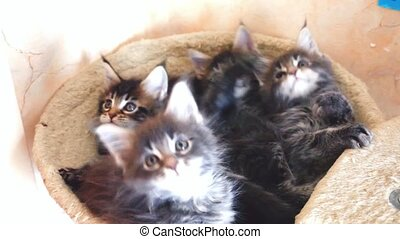 Funny Maine coon cats lying in hammock move their heads back and forth. 1920x1080