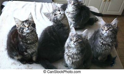 Funny Maine coon cats move their heads back and forth