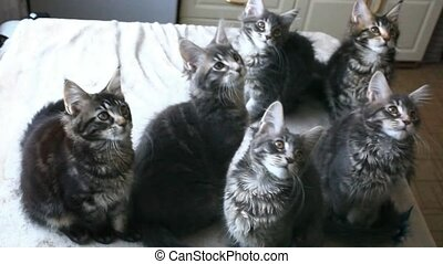 Funny Maine coon cats move their heads back and forth. HD. 1920x1080