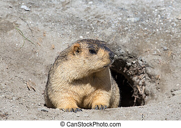 Funny marmot peeking out of a burrow in Ladakh, India