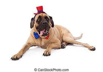 Funny Mastiff on Fourth of July