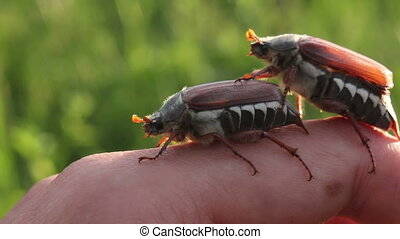 funny maybugs chafer creeping by the hand video