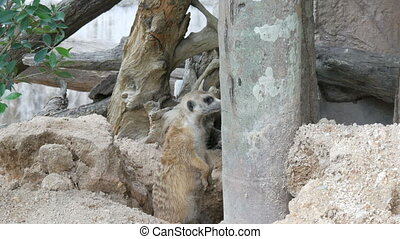 Funny meerkat or suricate near its burrows
