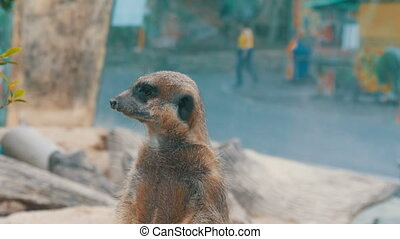 Funny meerkat or suricate near burrows in the zoo - Funny...