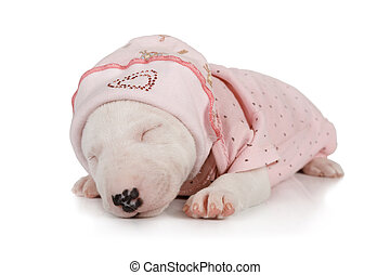 Funny Miniature Bull Terrier puppy sleeping