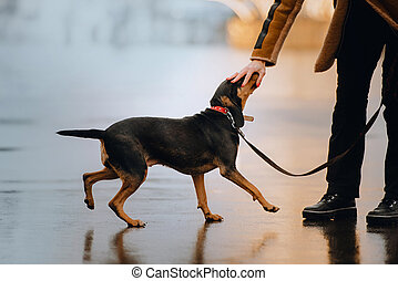 funny mixed breed dog walking outdoors on a leash