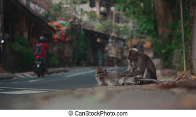 funny monkey family lying on ground and scratching and ...