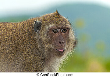 Funny monkey shows the tongue