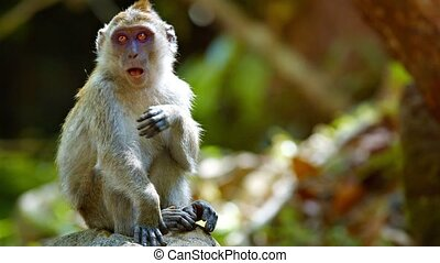 Full HD video - Funny adult monkey, sitting comfortably on a boulder and scratching himself while relaxing in the warm sunshine.