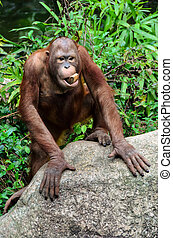 Funny orangutan monkey posing