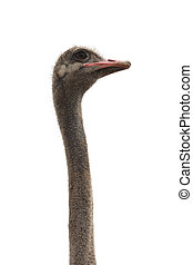 funny ostrich head isolated
