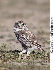 Funny owl looking in the grass