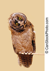 Funny owl - Young long-eared owl isolated over seamless...