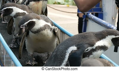 Funny penguins go down the corridor to the paddock in zoo...