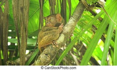 Funny Philippine tarsier Tarsius syrichta . Bohol...