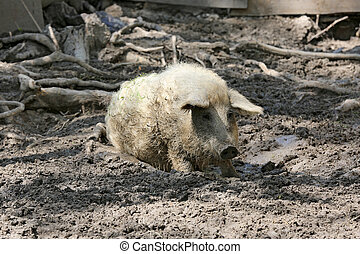 pig in the mud on a farm