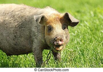 funny pig portrait