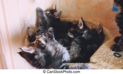 Funny playful Maine coon kittens lying in hammock move their heads back and forth.