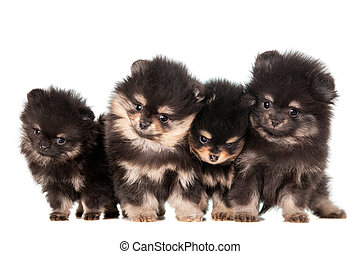 Funny Pomeranian Puppies group - Funny Pomeranian Puppies, 2...