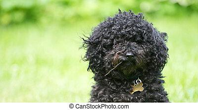 Funny poodle portrait. - Humorous close up portrait of a ...