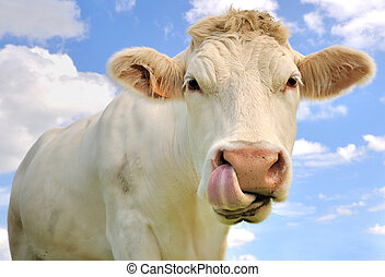 funny portrait of a cow - close up of a cow tongue in the...