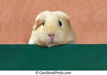 funny portret of guinea pig