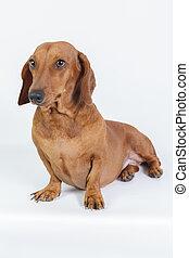 Funny pug and dachshund