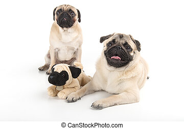 Funny pugs with toy. Two funny dogs sitting near the toy dog...