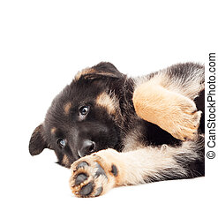 funny puppy on a white background