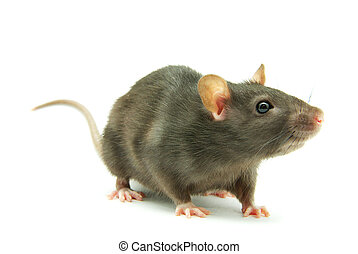 rat - funny rat isolated on white background