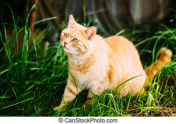 Funny Red Cat Playing in Green Spring Grass In Garden
