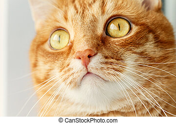Funny red cat`s surprised muzzle close-up