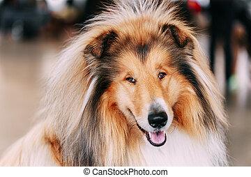 Funny Red Shetland Sheepdog, Sheltie, Collie