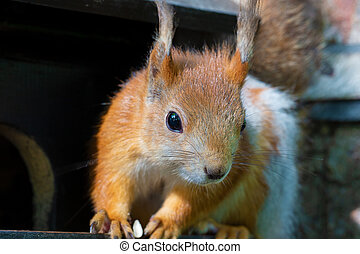 Funny red squirrel close-up.An animal in the park.