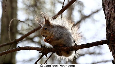 Funny red squirrel on branch - Red squirrel sitting on tree...