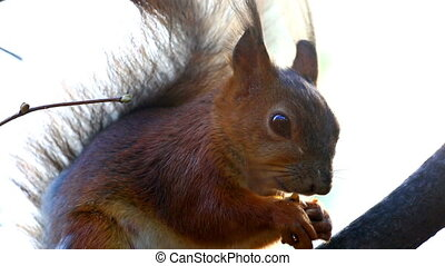 Funny red squirrel on branch