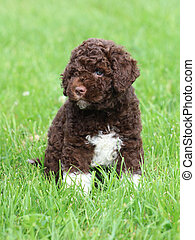 Funny Romagna Water Dog Puppy on the green grass